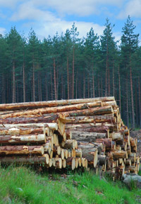 freshly cut stacked logs